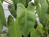 認識植物2.0 (67) 帝後恆扁:帝王蔓綠絨co7168.JPG