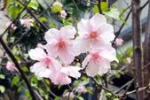 認識植物2.0 (69) 昭枯枳枸柃:昭和櫻xx01.jpg