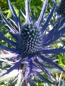 認識植物(50) 高鬼偃假:高山刺芹xx01.jpg
