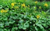 認識植物(57) 鹿麥麻傅傘博喜喬單報壺富:鹿蹄橐吾xx03.jpg