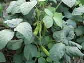 認識植物2.0 (61) 雨青:青仁黑豆dt6706.JPG