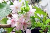 認識植物2.0 (69) 昭枯枳枸柃:昭和櫻xx04.jpg