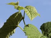 認識植物(70) 腰萬萱萼落葉葎葛葡葫葶蒂:葡萄cf1921.JPG