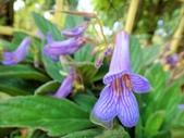認識植物2.0 (22) 皮矢石禾立:皮草花xx02.jpg