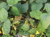 認識植物2.0 (61) 雨青:青仁黑豆dt8603.JPG