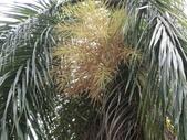 植物隨手拍 P:大王椰子 p2824.JPG