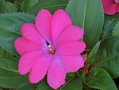 植物隨手拍CW:超級鳳仙cv7539.JPG