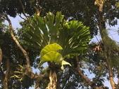 認識植物(5) 女子小:女王鹿角蕨xx01.jpg