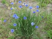 認識植物2.0 (22) 皮矢石禾立:矢車菊dr3470.JPG