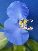 認識植物2.0 (31) 耳肉肋舌舟艾:耳葉鴨跖草xx01.jpg