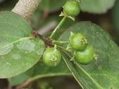 植物隨手拍 CJ:羅比梅cj9368.JPG