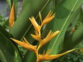 認識植物(5) 女子小:小天堂鳥花av6111.JPG