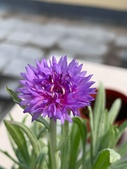 認識植物2.0 (22) 皮矢石禾立:矢車菊xx01.jpg
