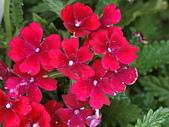 植物隨手拍 BP:美女櫻bp1537.JPG