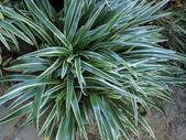 認識植物2.0 (25) 吊同向地多:吊蘭 o5271.JPG