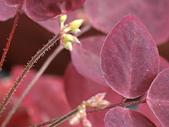 植物隨手拍CW:小紅楓cw6882.JPG