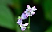 認識植物(58) 寒戟掌提散敦斐斑:戟葉蓼xx02.jpg