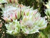 認識植物(68) 新椰椴楊楓極榆榔滇煉煙猿獅瑞:新娘花xx05.jpg