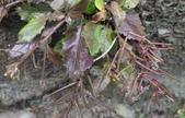 認識植物(70) 腰萬萱萼落葉葎葛葡葫葶蒂:葶藶xx04.jpg