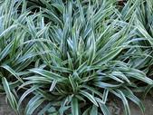 認識植物2.0 (25) 吊同向地多:吊蘭 o5272.JPG