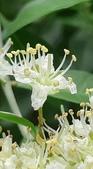 認識植物2.0 (68) 指星映春:指甲花xx02.jpg