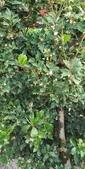 認識植物2.0 (70) 柊柏柚柳:柊樹xx02.jpg