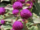 植物隨手拍 D:千日红 d1330.JPG