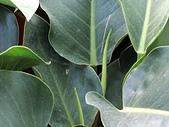植物隨手拍 BP:綠鑽蔓綠絨bp1156.JPG