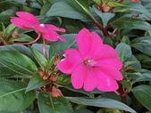 植物隨手拍CW:超級鳳仙cv8572.JPG