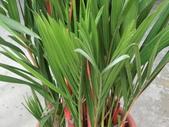 植物隨手拍EI:紅椰子ei7280.JPG