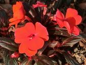 認識植物(68) 新椰椴楊楓極榆榔滇煉煙猿獅瑞:新幾內亞鳳仙花aj7310.JPG