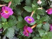 認識植物2.0 (59) 長:長筒花cs7629.JPG