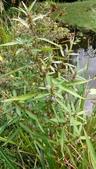認識植物2.0 (70) 柊柏柚柳:柳葉水蓑衣xx01.jpg
