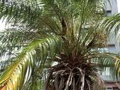 植物隨手拍 J:山棕 j5112.JPG