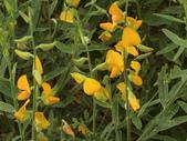 植物隨手拍 X:太陽麻 x0650.JPG