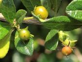 植物隨手拍 AM:小葉厚殼樹am1495.JPG