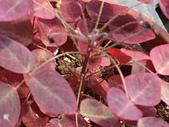 植物隨手拍CW:小紅楓cw6888.JPG