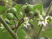 認識植物(70) 腰萬萱萼落葉葎葛葡葫葶蒂:萬桃花bw7997.JPG