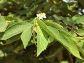 認識植物2.0 (63) 南:南美假櫻桃aj2948.JPG