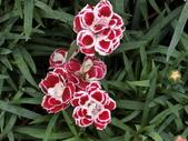 植物隨手拍 X:康乃馨 x9302.JPG