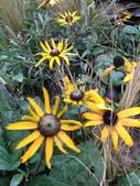 認識植物(66) 黑:黑心金光菊xx02.jpg