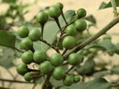 認識植物(70) 腰萬萱萼落葉葎葛葡葫葶蒂:萬桃花bw9781.JPG