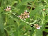 認識植物2.0 (70) 柊柏柚柳:柳葉馬鞭草cy8712.JPG