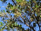 植物隨手拍 AK:細葉欖仁樹ak9953.JPG