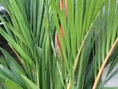 植物隨手拍EI:紅椰子ei7283.JPG