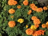 認識植物(70) 腰萬萱萼落葉葎葛葡葫葶蒂:萬壽菊 x9131.JPG