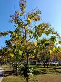 認識植物2.0 (70) 柊柏柚柳:柚木xx05.jpg