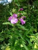 認識植物2.0 (70) 柊柏柚柳:柳葉菜xx03.jpg