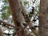 認識植物(63) 菜菝菟菠菩菫華菱菲菸菾萎著蛛蛟裂:菩提樹bu2841.JPG