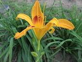 認識植物(70) 腰萬萱萼落葉葎葛葡葫葶蒂:萱草ag5895.JPG